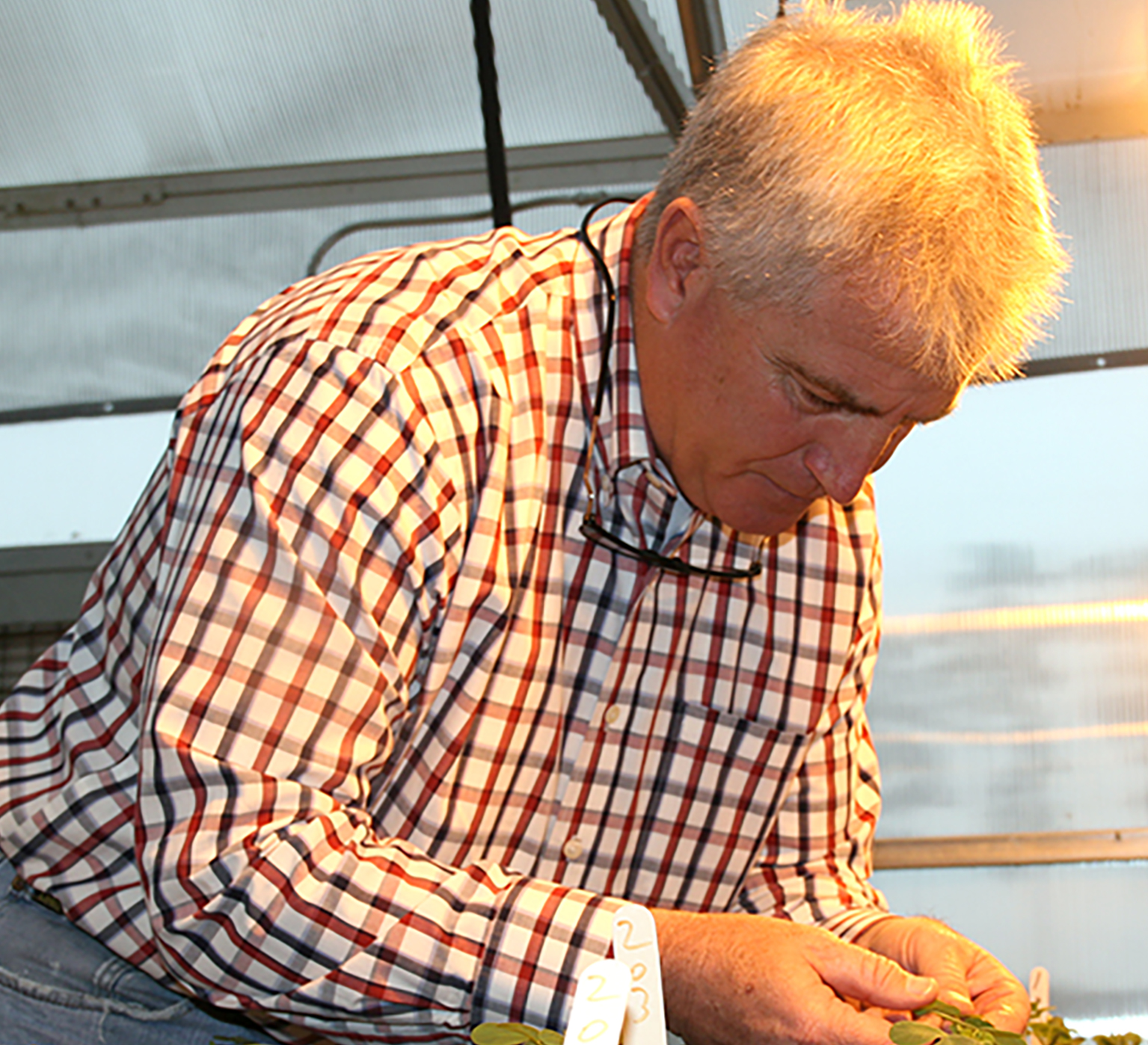 UGA weed scientist Eric Prostko studies sicklepod in a greenhouse on the UGA Tifton Campus in 2015.